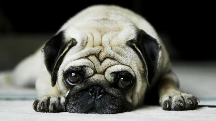 pug-cute-dog-pet-animal-1920x1080 (700x393, 30Kb)