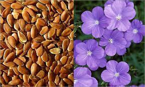 семена льна (289x174, 56Kb)