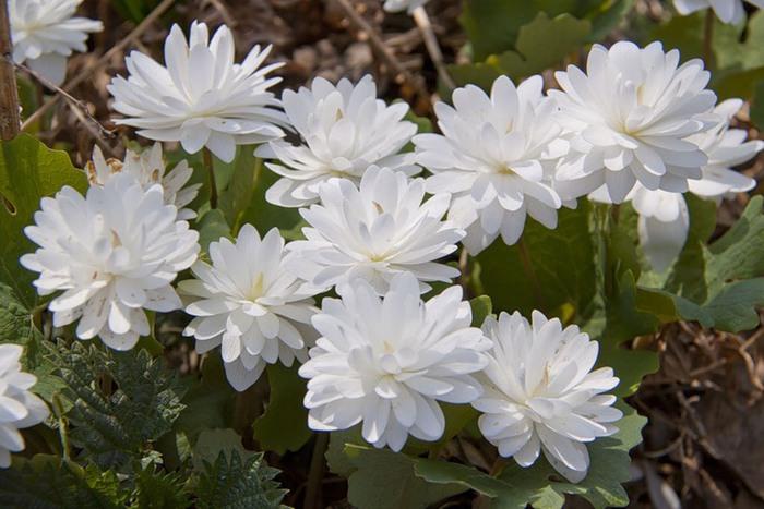 Цветок сангвинария