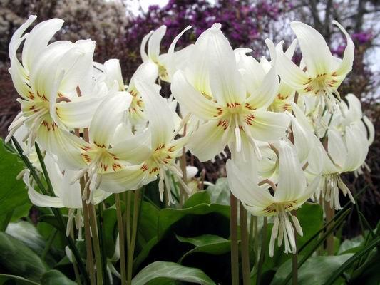 Эритрониум цветов