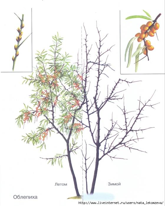 зодиак - Магические свойства деревьев. Магия деревьев. Деревья в магии. 99097077_Oblepiha