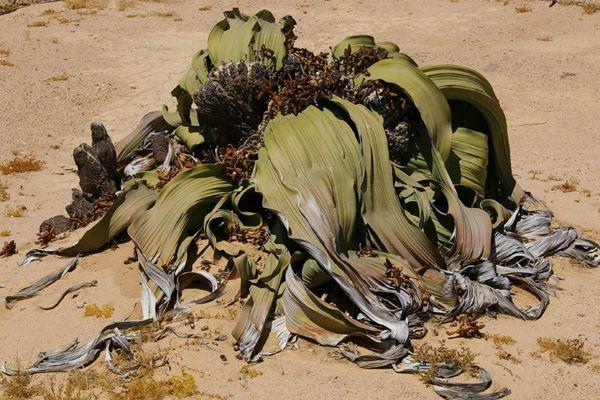 welwitschia (600x400, 73Kb)