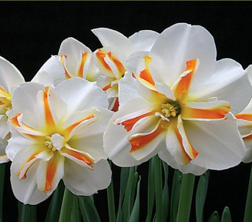 Нарцисс9 (500x441, 202Kb)