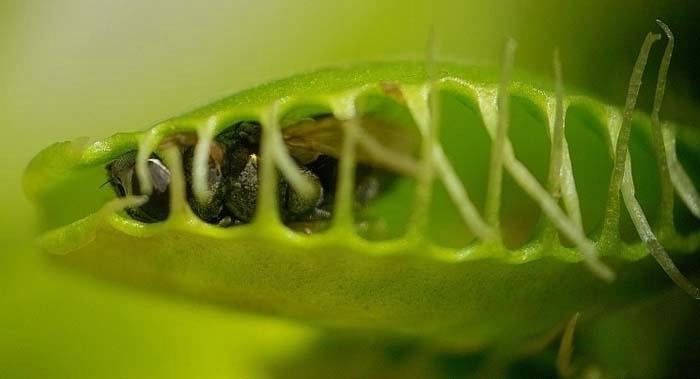 растение которое ловит мух название