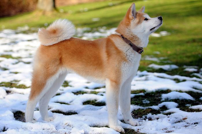 2 Akita Inu - breed dog Hachiko (700x465, 178Kb)