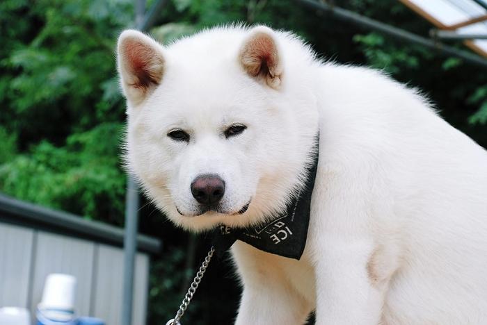 12 Akita Inu - breed dog Hachiko (700x468, 192Kb)