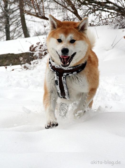 22-Акита-ину - порода собаки Хатико (524x700, 226Kb)