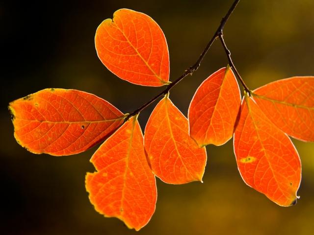 oranjevie-listya-640x480 (640x480, 319Kb)