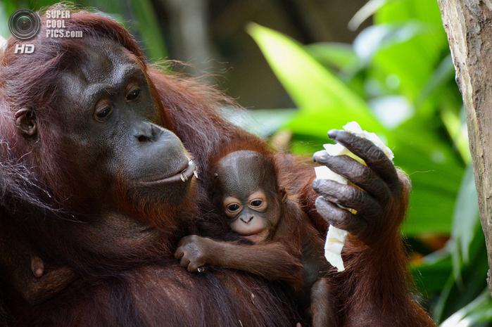 орангутанг фото 1 (700x465, 433Kb)