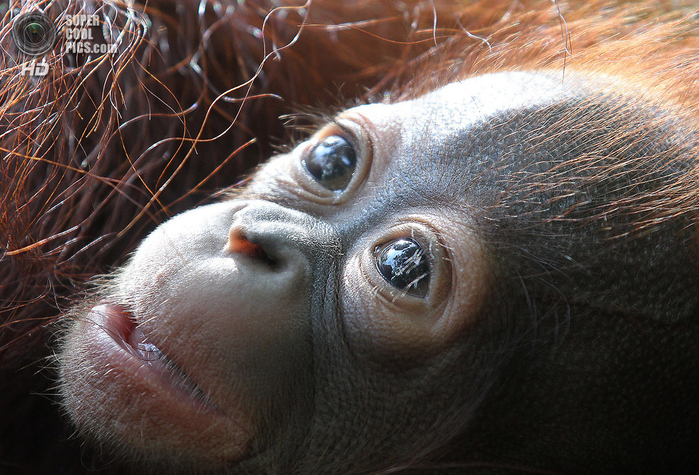 орангутанг фото 3 (700x475, 508Kb)