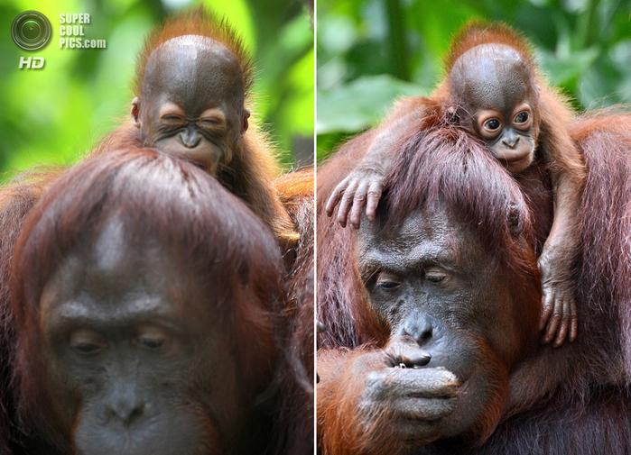 орангутанг фото 4 (700x505, 441Kb)