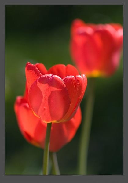 кр.тюльпан 4 (419x600, 131Kb)