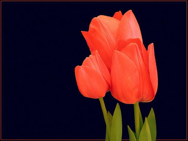 кр.тюльпан 10 (600x451, 107Kb)