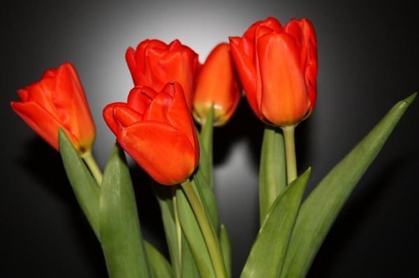 кр.тюльпан 13 (600x399, 146Kb)
