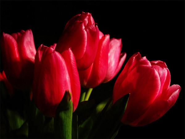 кр.тюльпан 22 (600x450, 148Kb)
