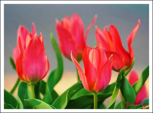 кр.тюльпан 24 (600x442, 206Kb)