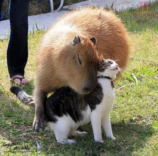 кот и капибара (604x595, 77Kb)