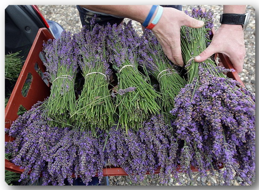 Mayfield_Organic_Lavender_Farm_Project-White4 (527x387, 141Kb)