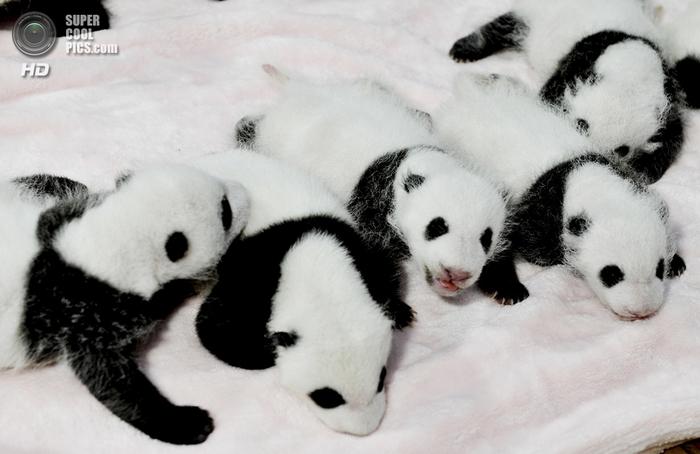 панды фото 1 (700x454, 258Kb)