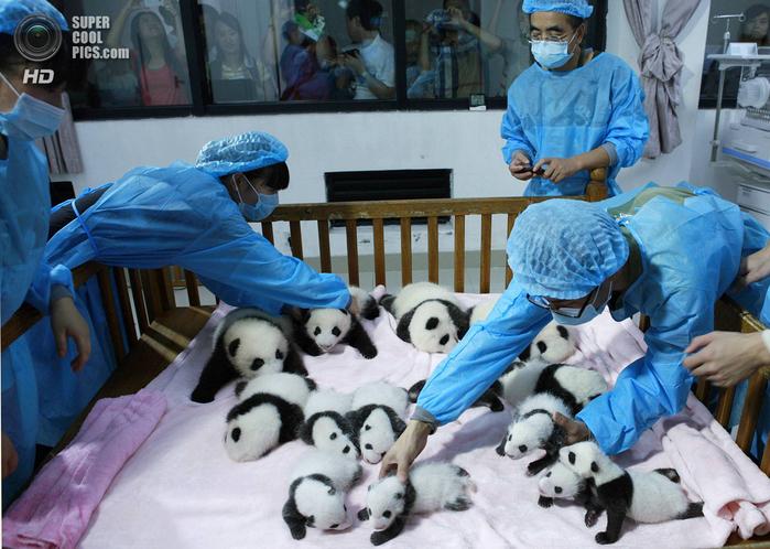 панды фото 3 (700x498, 434Kb)