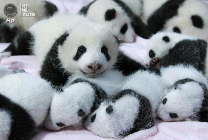 панды фото 4 (700x470, 365Kb)