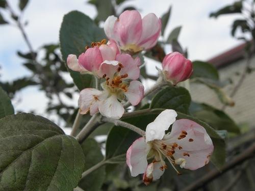 яблоня цветёт (500x375, 102Kb)