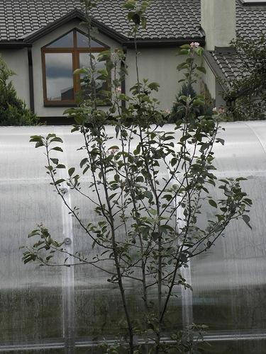 яблонька в цвету (375x500, 165Kb)
