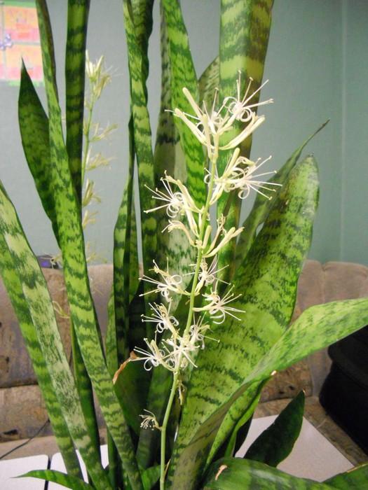 сансевьера  цветение