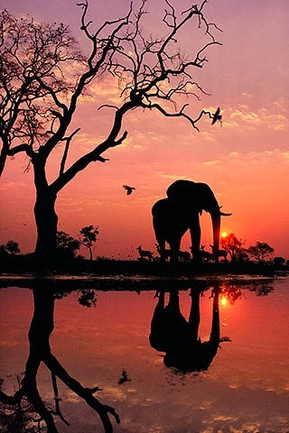 African elephant at dawn, Chobe National Park, Botswana _Frans Lanting (320x480, 129Kb)