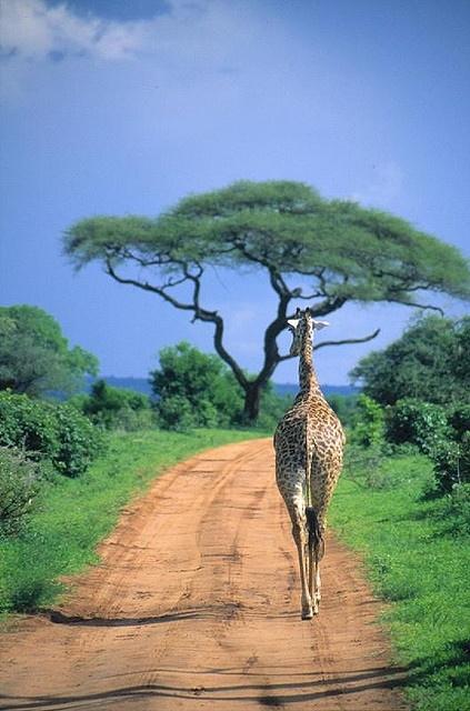 Tarangire National Park, Tanzania (423x640, 179Kb)