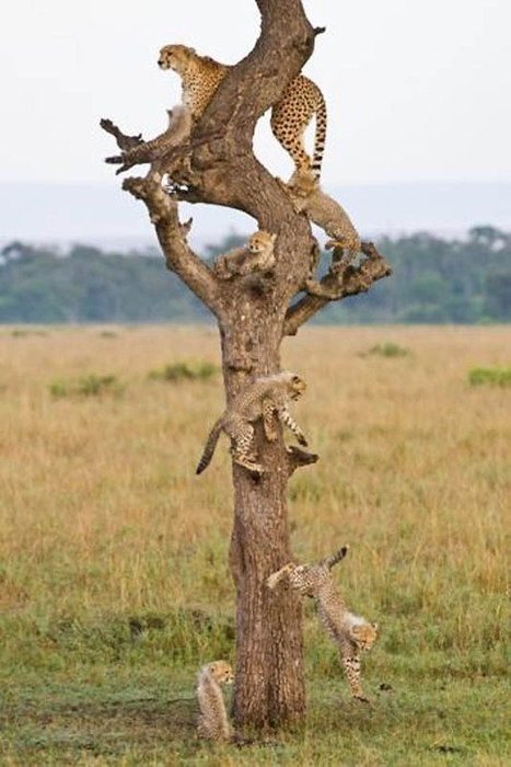 Cheetah Family Tree por Paul Goldstein (467x700, 194KB)