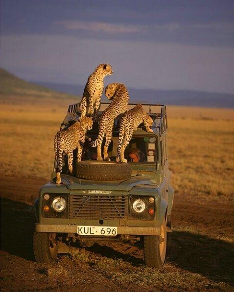 Cheetahs, Maasai Mara Game Reserve, Kenya (478x598, 145Kb)