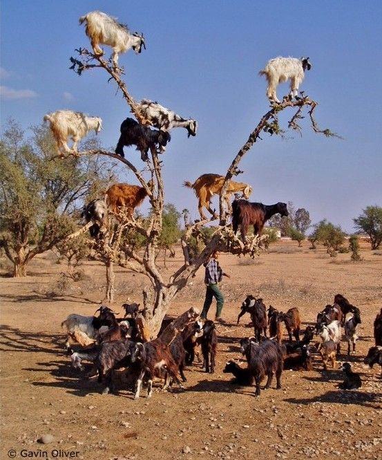 Cabras em árvores no Sul de Marrocos por Jenny Blake (553x665, 279KB)
