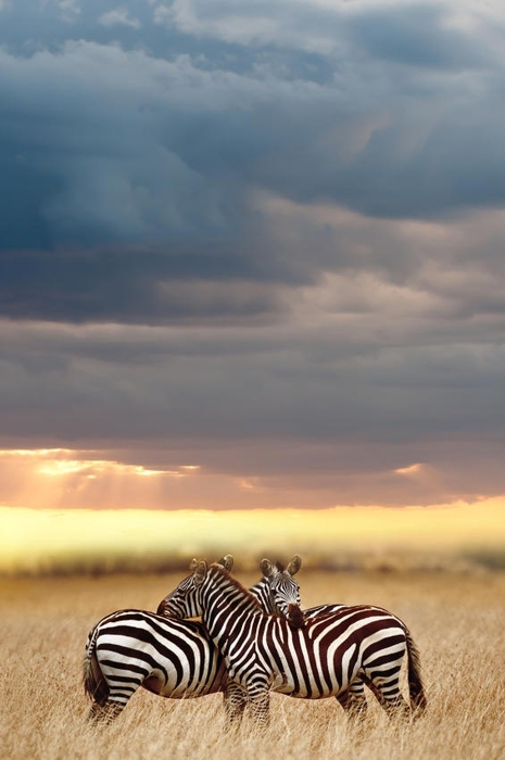 Two Zebras during migration, Serengeti. (465x700, 160Kb)
