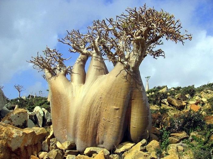Socotra13 (700x525, 321Kb)