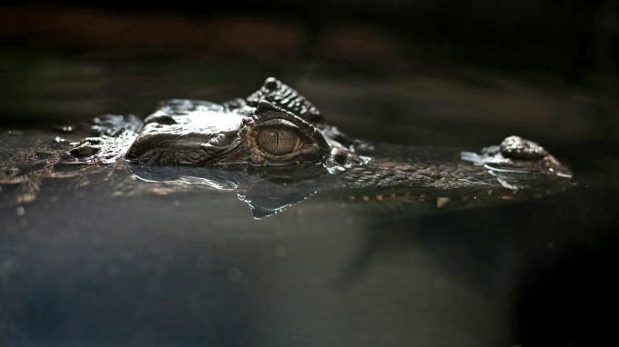 крокодил фото 2 (680x382, 71Kb)