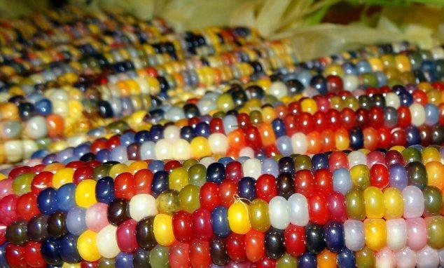 разноцветная кукуруза фото 2 (634x382, 285Kb)
