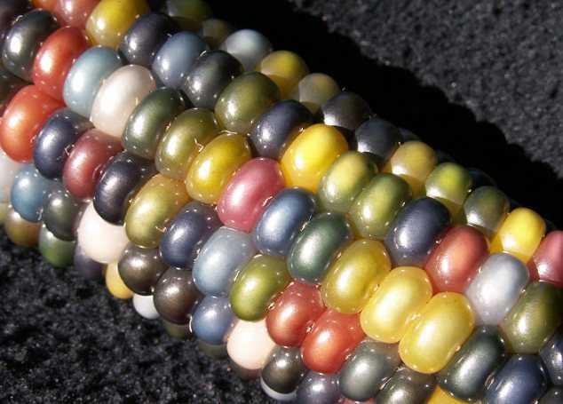 разноцветная кукуруза фото 4 (634x455, 202Kb)
