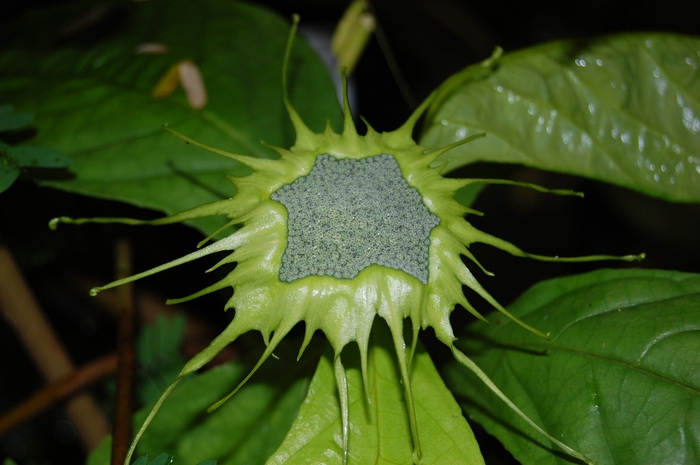 2007_dorstenia_turnerifolia_2 (700x465, 195Kb)