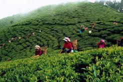 натуральный чай (245x164, 19Kb)