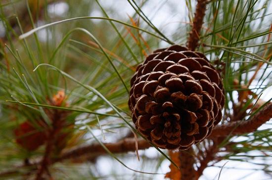 pine (550x364, 87Kb)