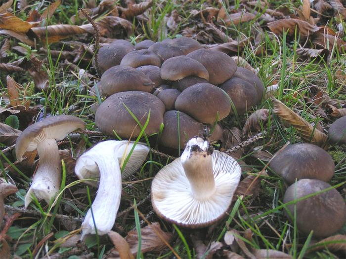 грибы рядовки белые съедобные фото и описание