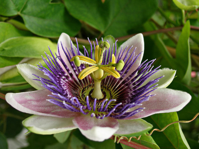 4638534_passifloratsvetok (700x525, 109Kb)