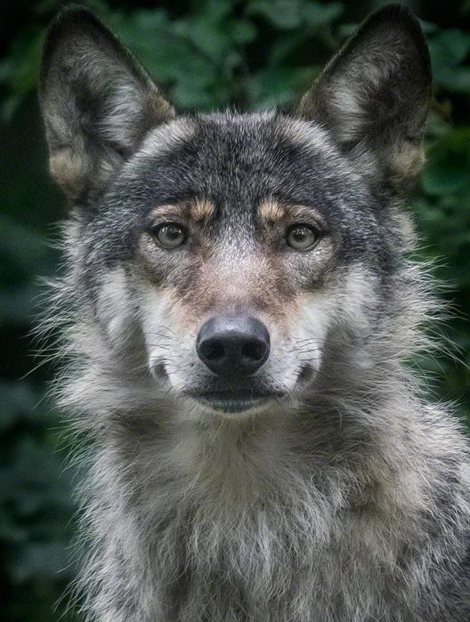 портреты животных фото (528x700, 306Kb)