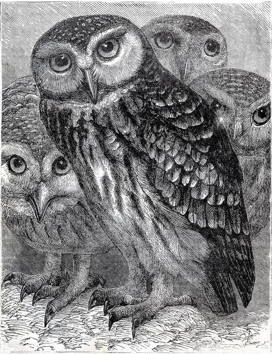 СОВЫ. Винтажные картинки для творчества (26) (536x700, 378Kb)