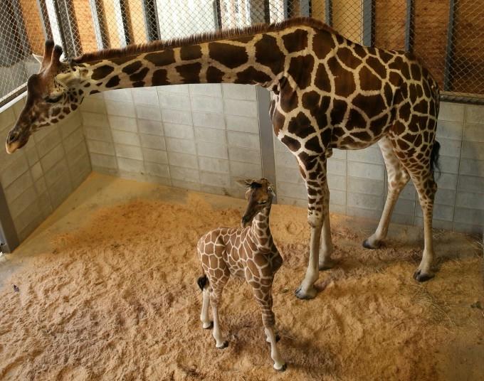 жирафа с детенышем фото (680x536, 260Kb)