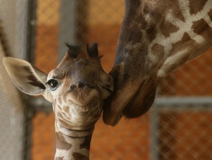 жирафа с детенышем фото 2 (680x513, 113Kb)