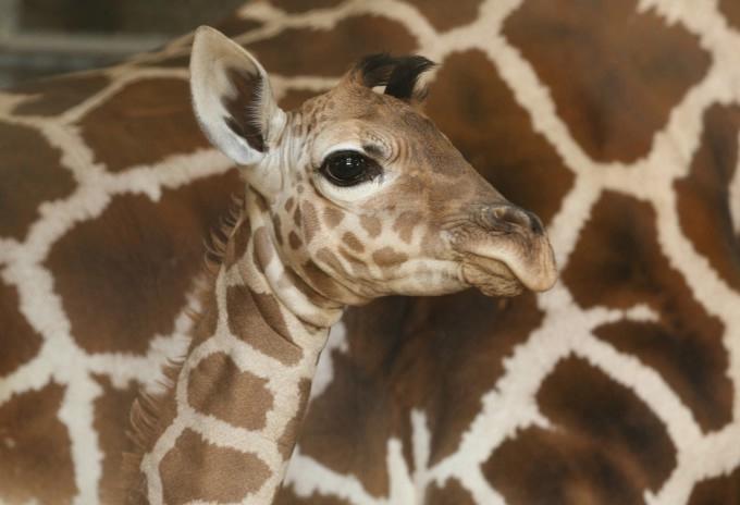 жирафа с детенышем фото 4 (680x464, 105Kb)