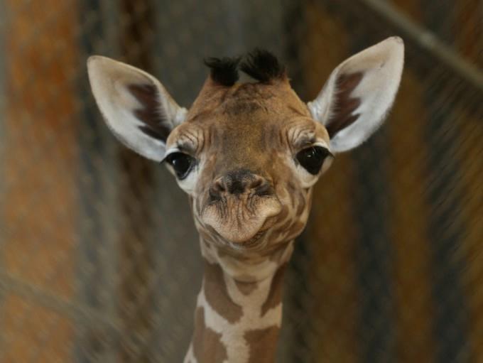 жирафа с детенышем фото 6 (680x511, 87Kb)