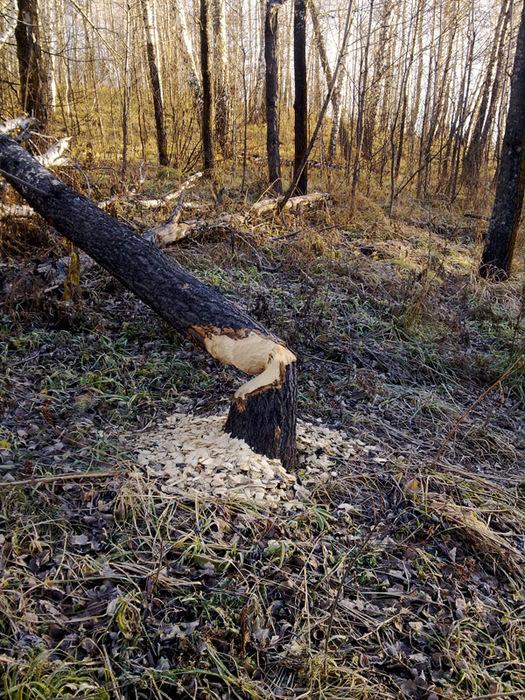 Бобер завалил дерево/1415502_20102013089_kopiya (525x700, 286Kb)
